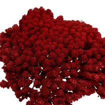 Achillea 1kg vin rouge