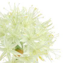 Allium blanc crème L. 76 cm