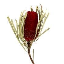 Banksia Hookerana rouge 7pcs