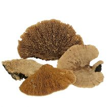 Polypore marginé naturel 500g