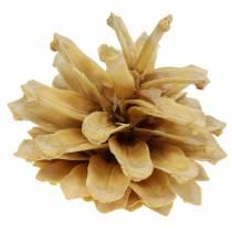 Pomme de pin des montagnes Pinus mugo crème 2-5cm 1kg