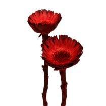 Rosace Compacta rouge (36) 40pcs