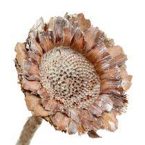 Coronata en rosette 25 p. blanchie