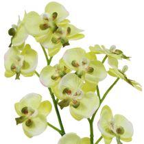 Mini-orchidée verte avec motte de terre
