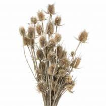 Chardon fleurs séchées blanchies à la chaux 60cm 100g