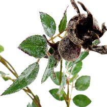 Branche de Rose musquée L92cm avec neige