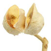 Hakea moyen blanchi 5-9 têtes par branche 25 p.
