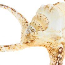 Lambis escargot de mer nature 22cm