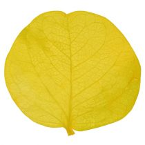 Feuilles de monnaie du Pape citron vert (50 g)