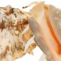 Escargot de mer Lambis naturel 14cm 10pcs
