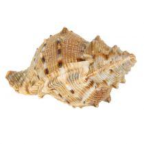 Assortiment naturel de coquillages 500 g