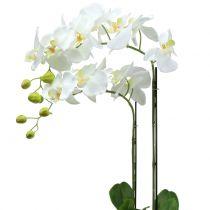 Orchidée blanche sur motte de terre 65 cm