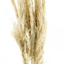 Herbe de la pampa, séchée, blanchie 75cm Pour un bouquet sec Lot de 10 pièces