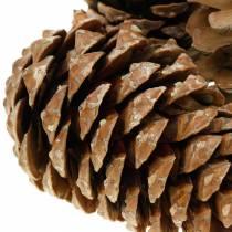 Pinus Pinea grand 14 / 18cm nature 50p