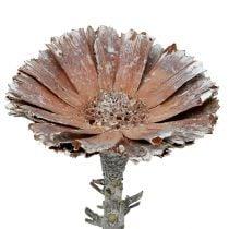 Repens en rosette 6-7 cm blanchi 25 p.