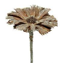 Rosette Protea 8-9cm blanchie à la chaux 25pcs
