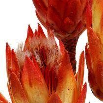 Protea repens rouge 300 p.