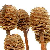 Sabulosum 4-6 têtes par branche (24) 200 p.