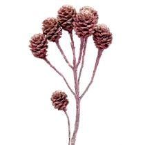 Salignum mûre givrée 25pcs