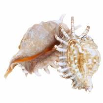 Escargot de mer mille-pattes naturel 11-15cm 10pcs