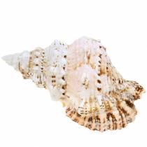 Escargot de mer grenouille géante escargot naturel 18-20cm
