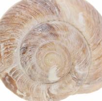 Coquille d'escargot blanchie à la chaux 24h