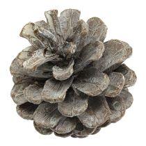 Pommes de pin noires 5-9cm Blanchies 1kg