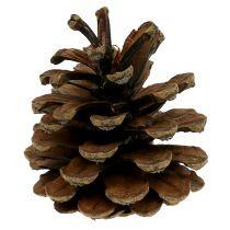 Cône de pin noir naturel 10kg