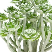 Succulente Echeveria 17cm gris 3pcs