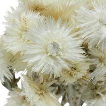 Fleurs séchées Bouchon fleurs blanc naturel, fleurs éternelles, bouquet de fleurs séchées H33cm
