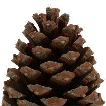 Cônes Pinus Maritima 10cm - 15cm naturel 3pcs