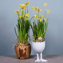 Pot de fleurs Bol Racine de camphrier Ø20cm H17cm