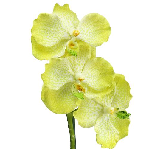 orchid e avec racines vert clair l 45 cm boutique en. Black Bedroom Furniture Sets. Home Design Ideas