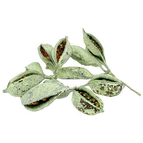 Brachyciton vert givré 500g