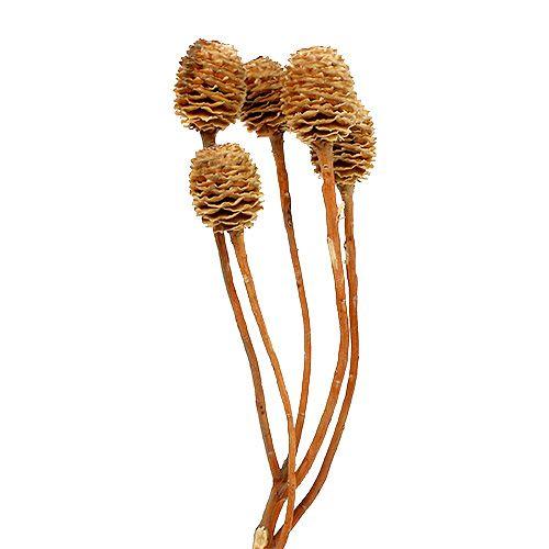 Sabulosum 4-6 têtes par branche 25 p.