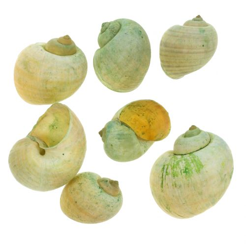 Coquilles d'escargots vertes 1 kg