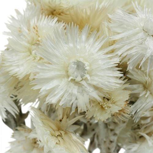 Fleurs séchées Cap fleurs blanc naturel, fleurs immortelles, bouquet de fleurs séchées H33cm