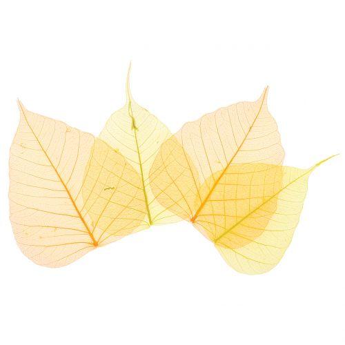 Lot de squelettes de feuilles de saule, jaune, orange 200 p.